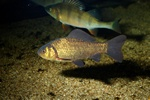Crucian carp (Carassius carassius)